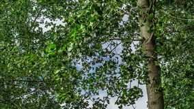 4K UHD Time Lapse of Poplar tree leaves shaking in a windy day. Wind starts blowing to show the leaves shake on the trees stock video footage
