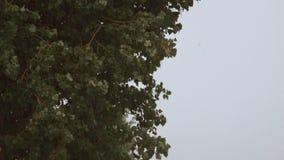 4K ulewny deszcz, strzał drzewo który rusza się pod deszczem zbiory