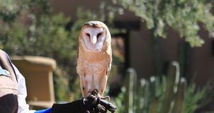 4K UltraHD Captive female Barn Owl, Tyto alba. 4K UltraHD A Captive female Barn Owl, Tyto alba stock video footage