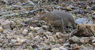 4K UltraHD Curve Billed Thrasher, Toxostoma curvirostre stock footage