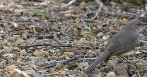 4K UltraHD Curve Billed Thrasher, Toxostoma curvirostre on ground stock footage