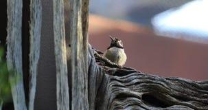 4K UltraHD détendant le colibri noir de Chinned, alexandri d'Archilochus clips vidéos