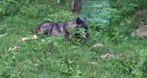 4K UltraHD Donker Grey Wolf die, Canis-wolfszweer, op een been knagen aan stock videobeelden