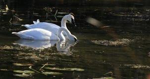 4K UltraHD Feeding Trumpeter Swan, Cygnus buccinator stock footage