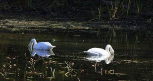 4K UltraHD Feeding Trumpeter Swans, Cygnus buccinator stock video footage
