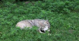 4K UltraHD Grey Wolf, canis lupus, rosicchiante su un osso stock footage