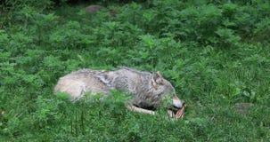 4K UltraHD Grey Wolf, Canis-wolfszweer, het eten stock footage