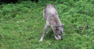 4K UltraHD Grey Wolf, Canis-wolfszweer, het kauwen oud been stock video