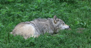 4K UltraHD Grey Wolf die, Canis-wolfszweer, op been kauwen stock videobeelden