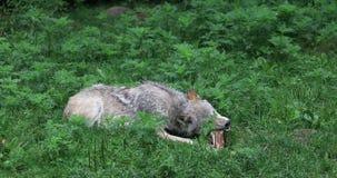 4K UltraHD Grey Wolf die, Canis-wolfszweer, op een been kauwen stock video