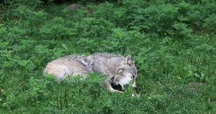 4K UltraHD Grey Wolf die, Canis-wolfszweer, op een been knagen aan stock footage