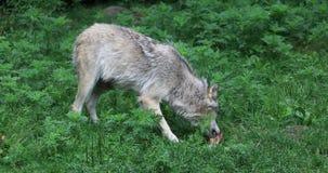 4K UltraHD Grey Wolf die, Canis-wolfszweer, van een been eten stock videobeelden