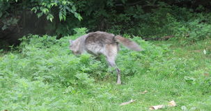 4K UltraHD Grey Wolf, lupus de Canis, caminando almacen de metraje de vídeo
