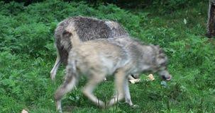 4K UltraHD-Paar van Grey Wolf, Canis-wolfszweer stock videobeelden