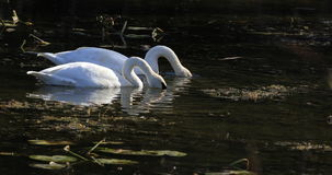 4K UltraHD Pair of Trumpeter Swan, Cygnus buccinator, feeding stock video