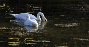 4K UltraHD Pair of Trumpeter Swan, Cygnus buccinator, feeding in wetlands stock footage