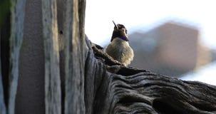 4K UltraHD Próżnuje Czarnego Chinned Hummingbird, Archilochus alexandri zdjęcie wideo
