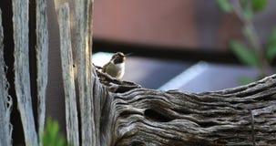 4K UltraHD Resting Black Chinned Hummingbird, Archilochus alexandri stock video
