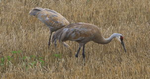 4K UltraHD Sandhill Crane, Grus canadensis, adult with juvenile feeding. 4K UltraHD Two Sandhill Crane, Grus canadensis, adult with juvenile feeding stock video footage