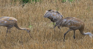 4K UltraHD Sandhill Crane, Grus canadensis, adult and two young feeding. 4K UltraHD Three Sandhill Crane, Grus canadensis, adult and two young feeding stock video