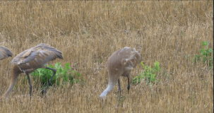 4K UltraHD Sandhill Crane, Grus canadensis, adult and two young. 4K UltraHD Three Sandhill Crane, Grus canadensis, adult and two young stock video