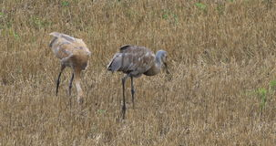 4K UltraHD Sandhill Crane, Grus canadensis, adult and young. 4K UltraHD Two Sandhill Crane, Grus canadensis, adult and young stock video