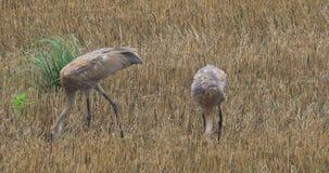 4K UltraHD Sandhill Crane, Grus canadensis, two juvenile feeding. 4K UltraHD Sandhill Crane, Grus canadensis, juveniles feeding stock video