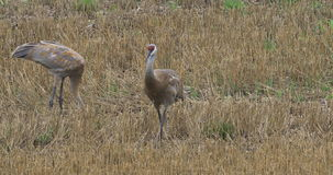 4K UltraHD Sandhill Cranes, Grus canadensis, feeding in field. 4K UltraHD Two Sandhill Cranes, Grus canadensis, feeding in field stock video footage
