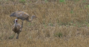 4K UltraHD Sandhill Cranes, Grus canadensis, feeding in stubble. 4K UltraHD Two Sandhill Cranes, Grus canadensis, feeding in stubble stock video footage