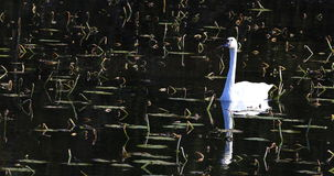 4K UltraHD Single Trumpeter Swan, Cygnus buccinator stock footage