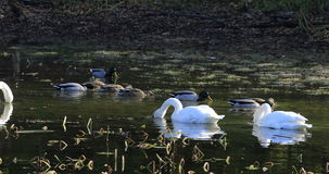 4K UltraHD Trumpeter Swan, Cygnus buccinator, feeding stock video footage