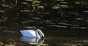 4K UltraHD Trumpeter Swan, Cygnus buccinator, on pond stock video footage
