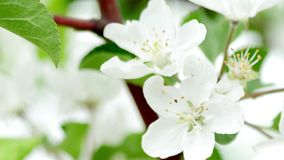 4K video of apple blossom, trees with pink and white flowers. 4K UltraHD video of apple blossom, trees with pink and white flowers stock video footage