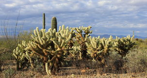 4K UltraHD View of Cholla Cactus group in Tucson Mountain Park stock video