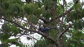 4K un resto azul de la urraca de Taiwán del adulto en un árbol en el parque Taipei, Taiwán metrajes