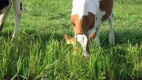 4K Une vache à brun et blanche frôlent dans un pré vert en édam banque de vidéos