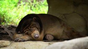4K, urso de Sun que dormem na floresta entre rochas e árvores no jardim zoológico Honey Bear video estoque