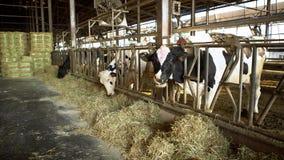 4K, vaca no celeiro de uma exploração agrícola de leiteria Alimentação das vacas de Holstein Ind?stria da agricultura vídeos de arquivo