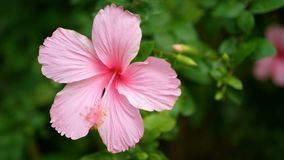 4K van roze Hibiscus rosa-sinensis in park met groene bladereninstallatie bij achtergrond met bries De bloem van de hibiscus stock videobeelden