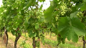 4K video clip of grape vines growing in a Rhine Valley vineyard, Germany, Europe stock video footage