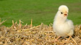 Cute yellow chick, baby Poland Chicken, sitting on a hay bale outside in golden summer sunshine. 4K Video clip of one cute yellow chick, baby Poland Chicken stock video
