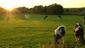 Herd of Friesian cows grazing, eating grass in a field on a farm at sunset or sunrise stock footage