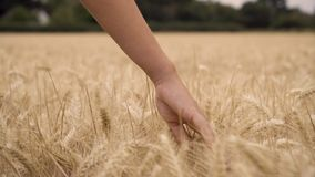 Woman or teenage female girl hand feeling the top of a field of golden barley, corn or wheat crop. 4K video clip of young adult woman or teenage female girl hand stock video