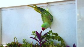 4K video dichte omhooggaand van een groene papegaai die op een venster hangen Het voeden met groene bloem Het is in Marrakech, Ma stock videobeelden