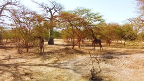4K video of group of Giraffes in National park in Africa, Senegal. It is wildlife animals in savannah in safari. There is sunny day stock video