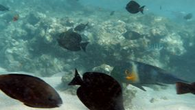 4k footage of shoal of colorful fishes swimming near the dead reef at red sea. 4k video of shoal of colorful fishes swimming near the dead reef at red sea stock footage
