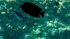 4k video of swimming above colorful corals and schools of fishes in the Red sea in Egypt. 4k footage of swimming above colorful corals and schools of fishes in stock footage