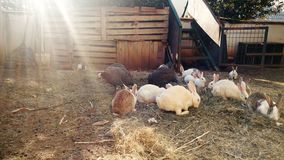 4k video van konijnen en binnenlandse vogels op landbouwbedrijf stock video