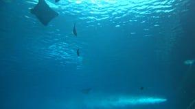 4k, vista della manta gigante delle siluette subacquee ed un nuoto dello squalo stock footage