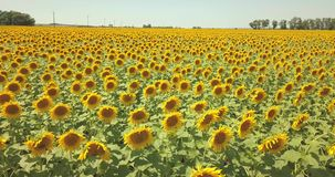 4k, vue aérienne, agriculture, secteur, fond, beauté, fleurs, fleur, lumineuse, bourdon, bourdon a tiré le tournesol, tournesol d clips vidéos